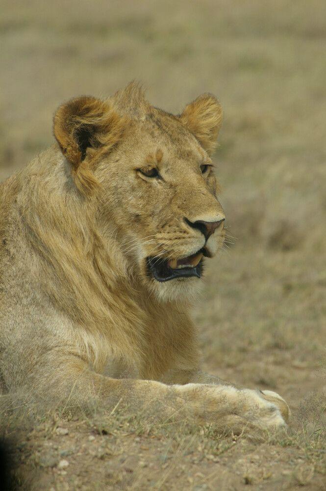 TANLTC_230519_1GVO_Loewe-in-der-Serengeti.jpg