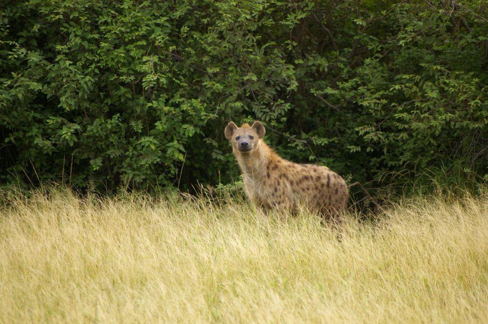 TANLTC_230519_1GVO_Hyaene-in-der-Serengeti.jpg