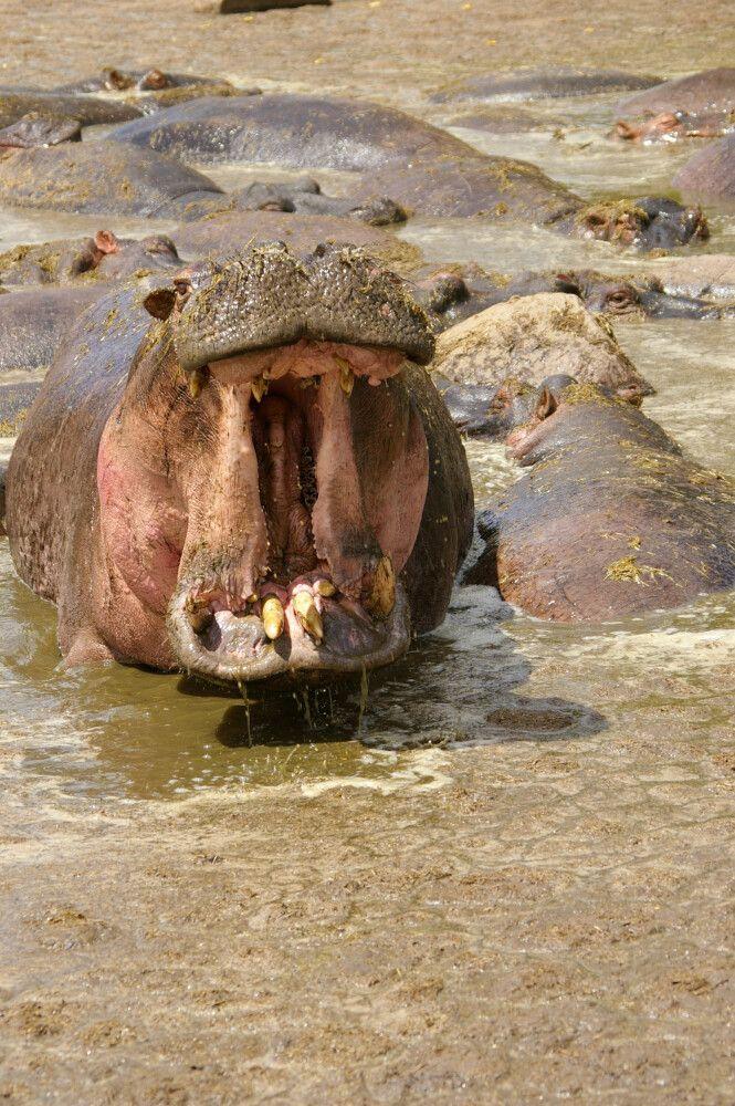 TANLTC_230519_1GVO_Hippo-in-der-Serengeti.jpg