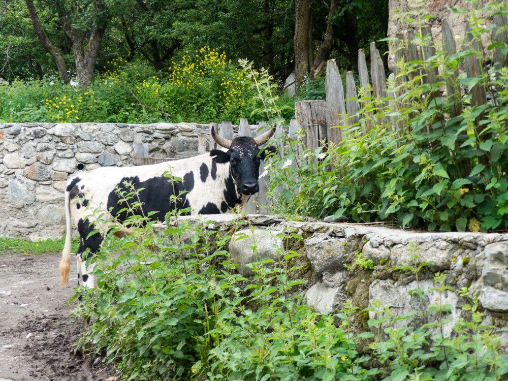 Kühe gehen auf der Straße spazieren