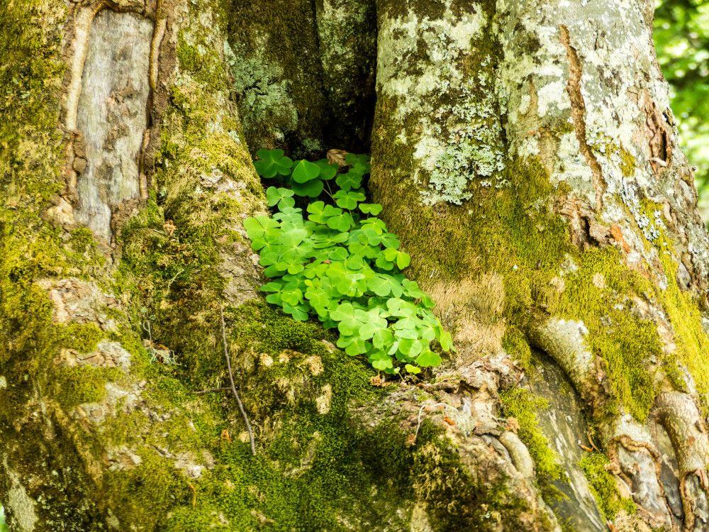 frischer Klee wächst in der Rinde eines altes Baumes