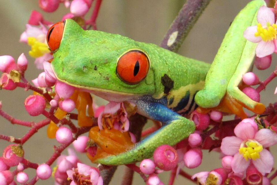 Rotaugenlaubfrosch in Blumennest