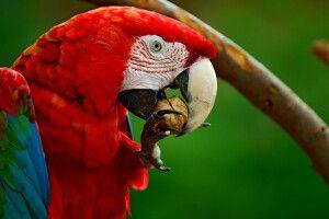 Roter Ara beim Nussknacken