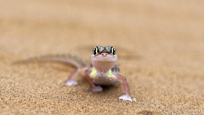 Putziger Gecko, Living Desert Tour © Diamir