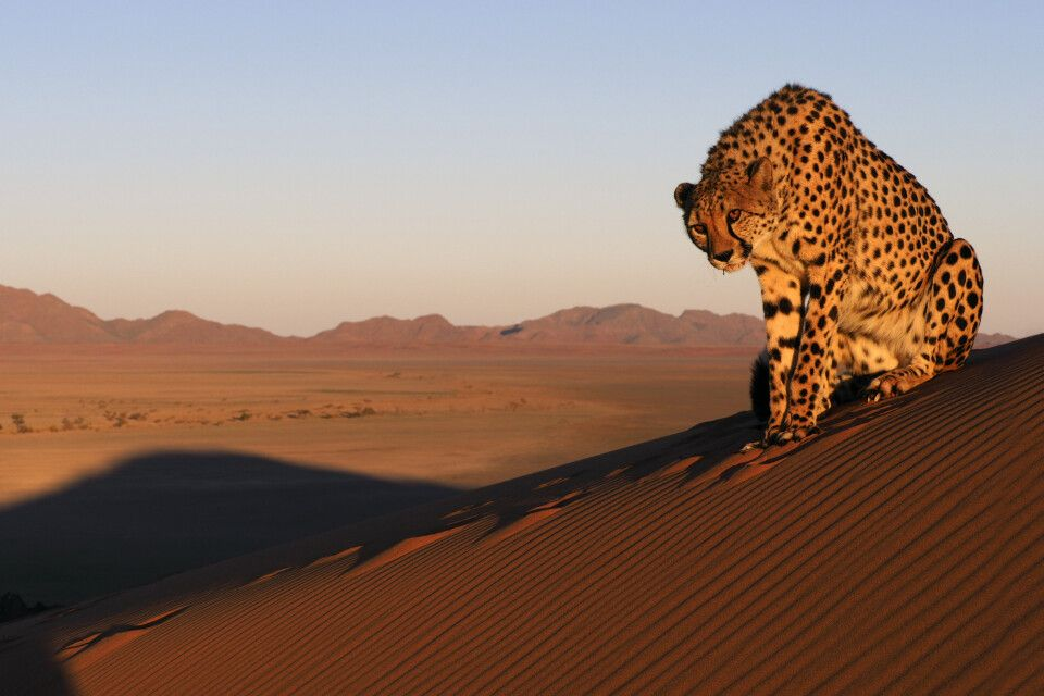 Gepard in bestem Fotolicht