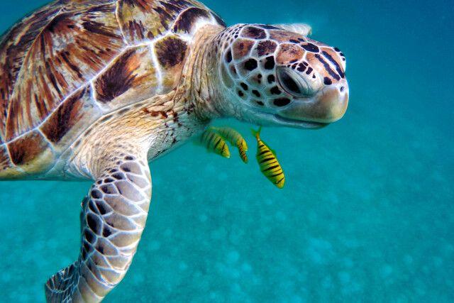 Meersschildkröte und Putzerfische