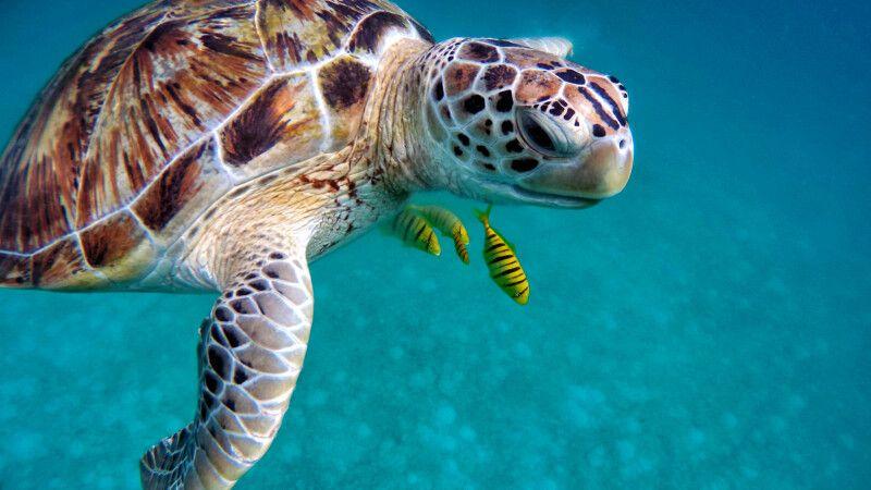 Meersschildkröte und Putzerfische © Diamir