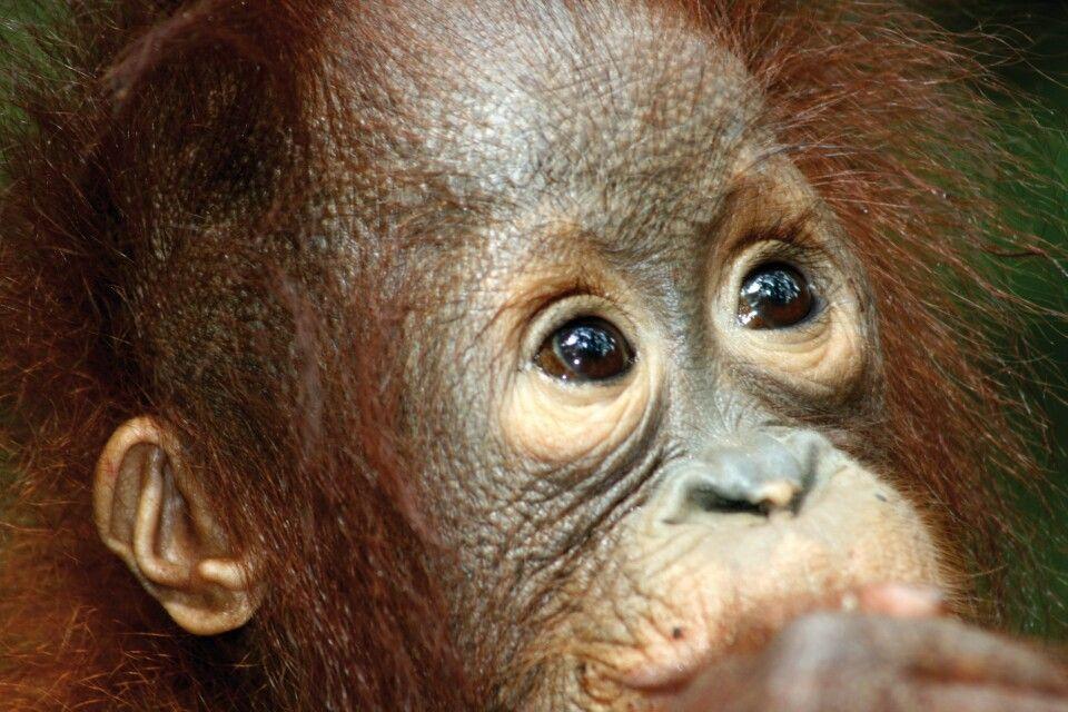 Orang-Utan auf Borneo