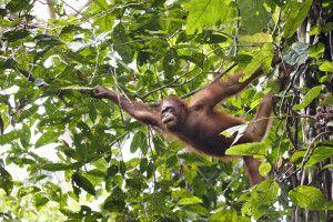 Orang-Utans sind geschickte Kletterer