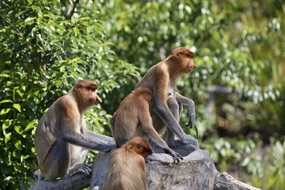 Nasenaffen sind endemisch auf Borneo