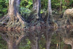mystische Urwaldriesen am Flussufer