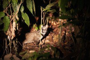Leopardenkatze im Deramakot Reservat