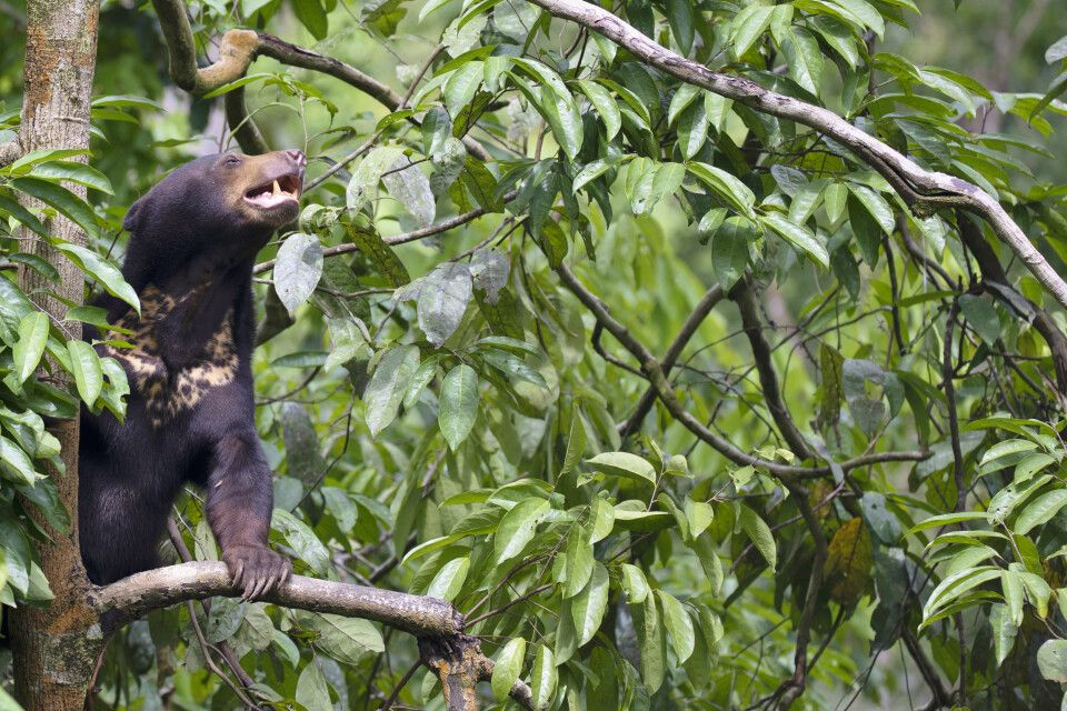 Malaienbären werden aufgrund der Fellzeichnung auch Sonnenbär genannt.