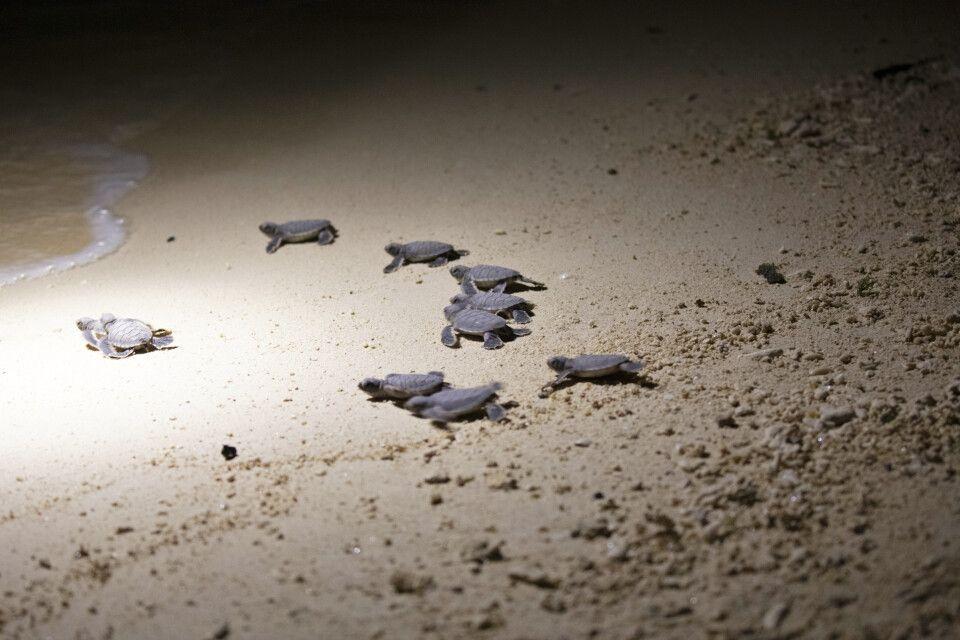 Geschlüpfte Meeresschildkröten auf Selingan Island