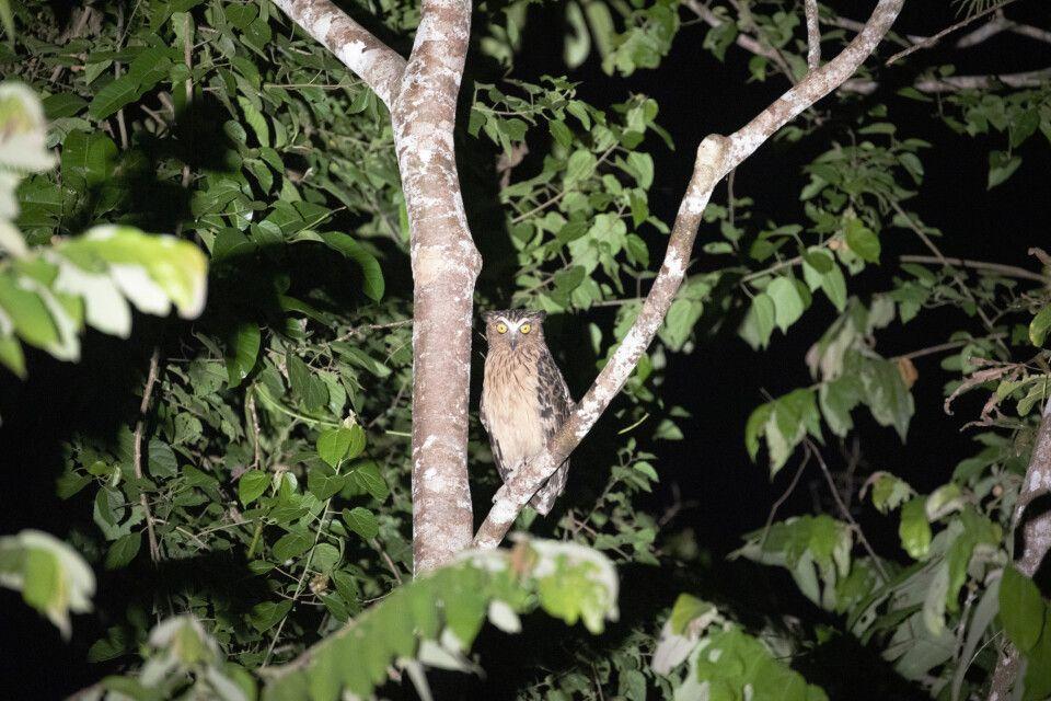 Malaienfischuhu entdeckt auf Nachtsafri im Deramakot Reservat