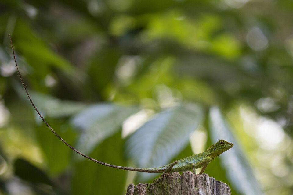Der Schwanz des Borneo-Langschwanzagame macht bis zu 75% der Körperlänge aus.