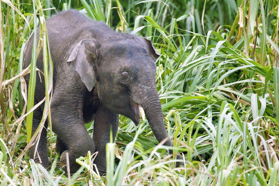 Borneo-Zwergelefant Jungtier