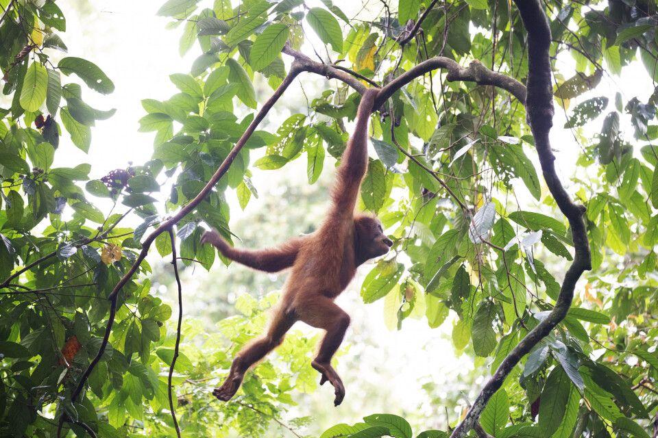 Hangelnd bewegen sich Orang-Utans durch den dichten Dschungel.
