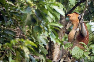 Der Nasenaffe wird auch Proboscis Moneky genannt
