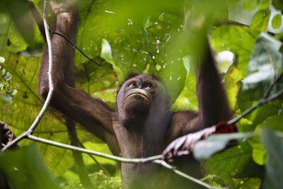 Orang-Utan im dichten Blätterdach