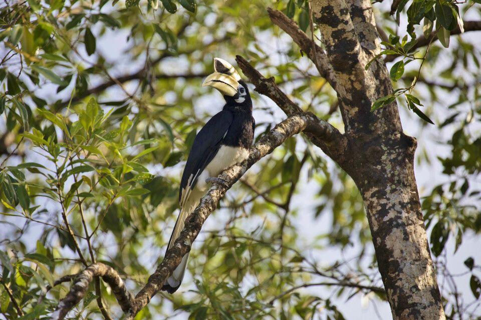 prächtiger Nashornvogel