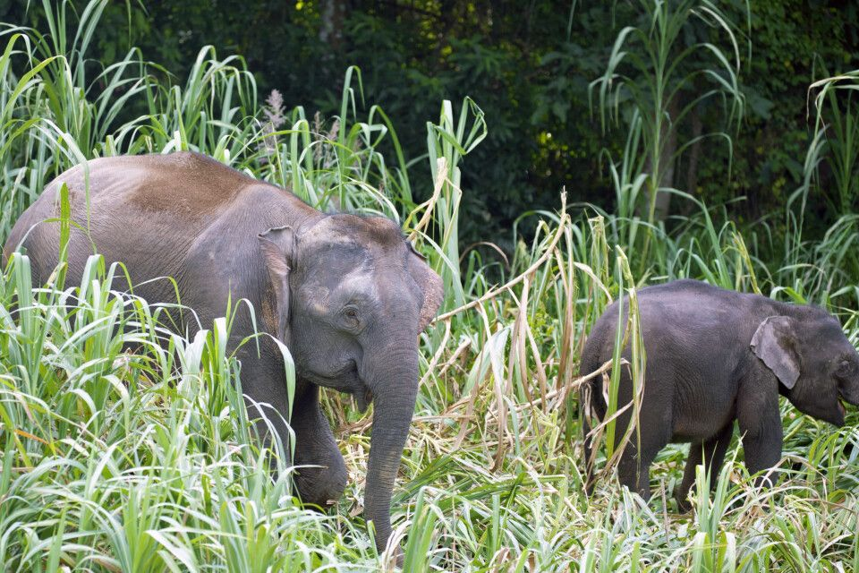 Borneo-Zwergelefanten Mutter und Kalb im Schilf am Flussufer