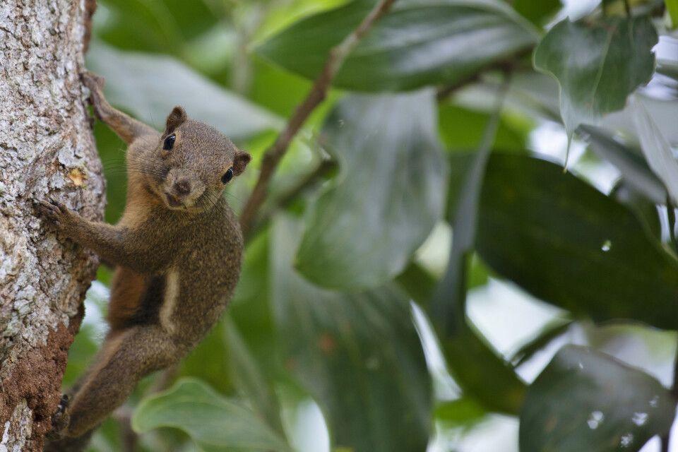 Das Borneo-Hörnchen ist ein auffällig großer Vertreter seiner Art