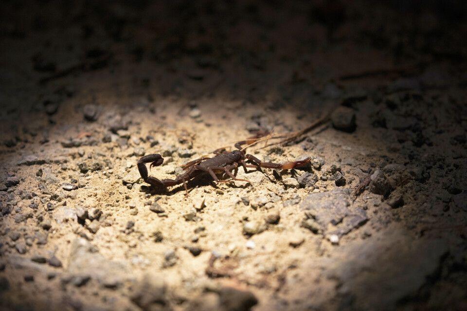 Auf Nachtsfari entdeckt man viele Insekten, Frösche und Spinnentiere wie diesen Skorpion