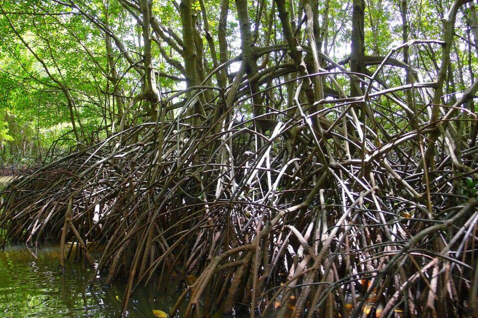 Mangroven im Biosphärenreservat Can Gio