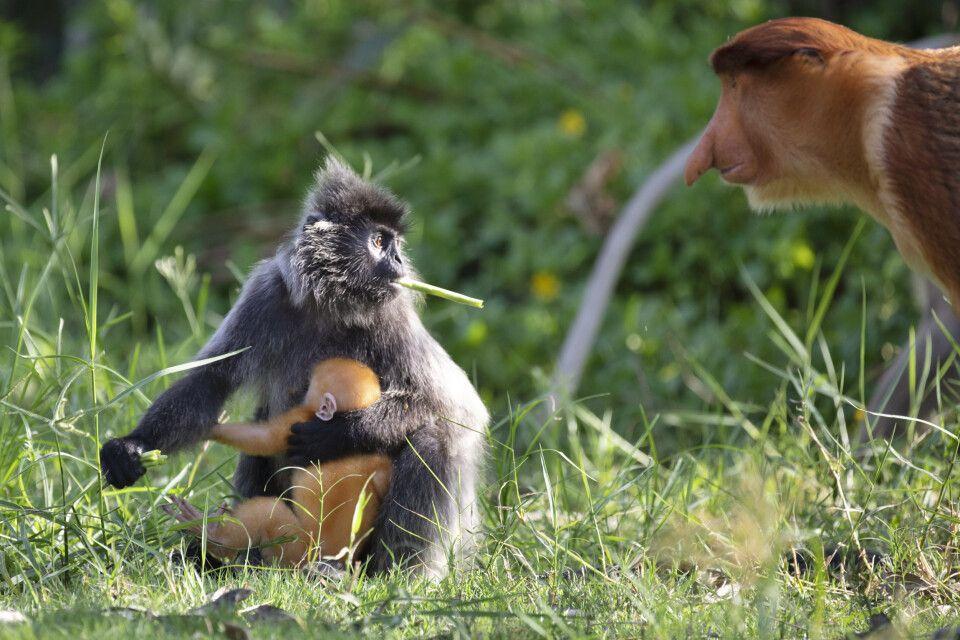 Silver Leaf und Dutch Monkey teilen sich ihre Lebensräume