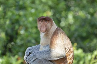 Nasenaffe - von Einhemischen liebevoll Dutch Monkey genannt
