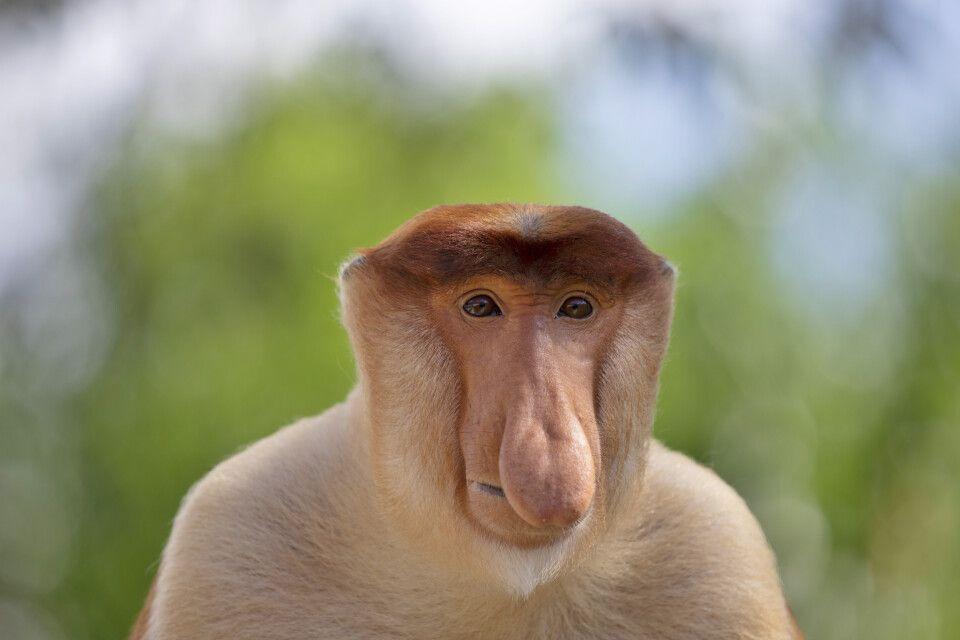 Nur die Männchen der Nasenaffen bilden die charakteristische, birnenförmige Nase aus.