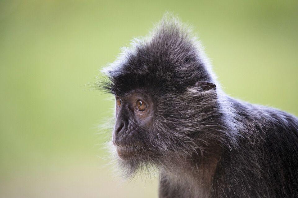 Silberblatt-Affe