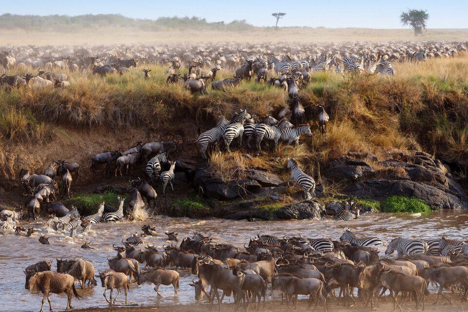 Gnus und Zebras beim Überqueren eines Flusses zwischen Serengeti und Masai Mara.