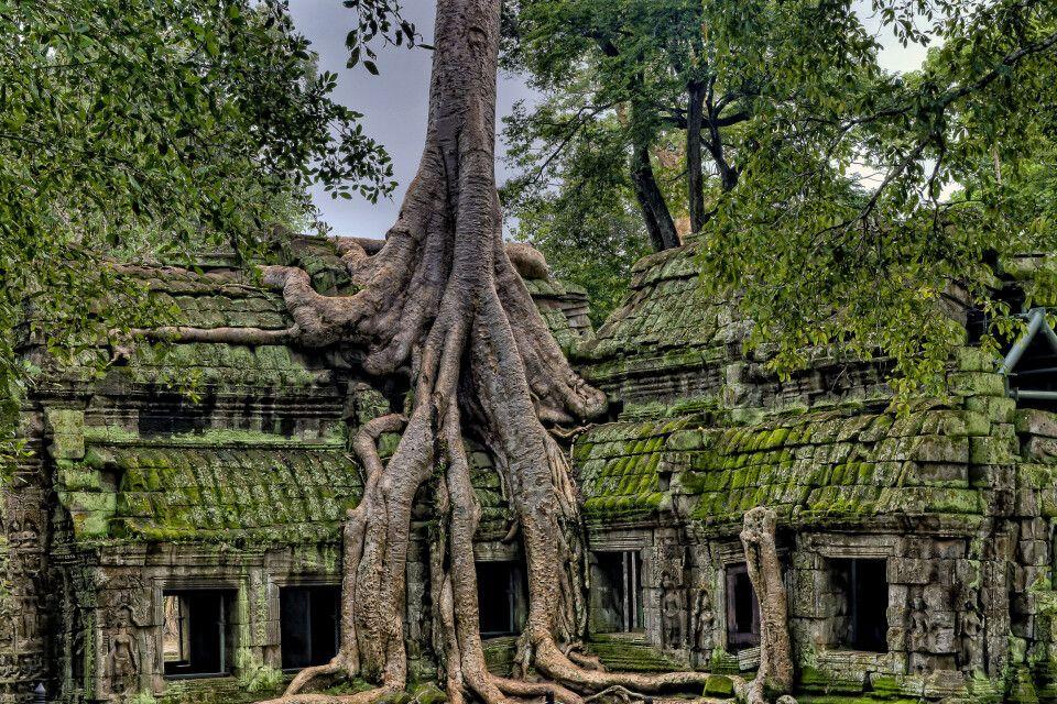 Überwachsener Tempel in Angkor in der grünen Saison