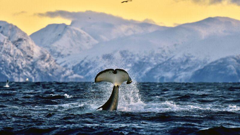 Spektakuläre Szenen bei der Walbeobachtung © Diamir