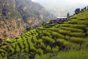saftig grüne Terrassenfelder in Machha Khola (900 m)