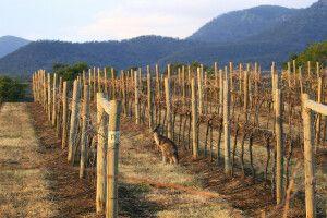 Känguru zwischen den Weinreben von Hunter Valley