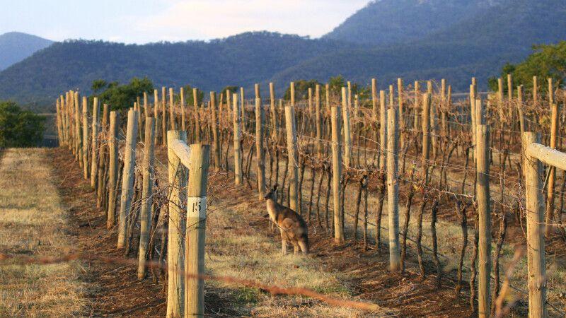 Känguru zwischen den Weinreben von Hunter Valley © Diamir