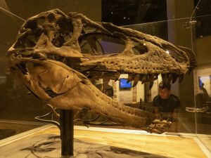 Im Robert Tyrrell-Dinosaurier-Museum in Drumheller