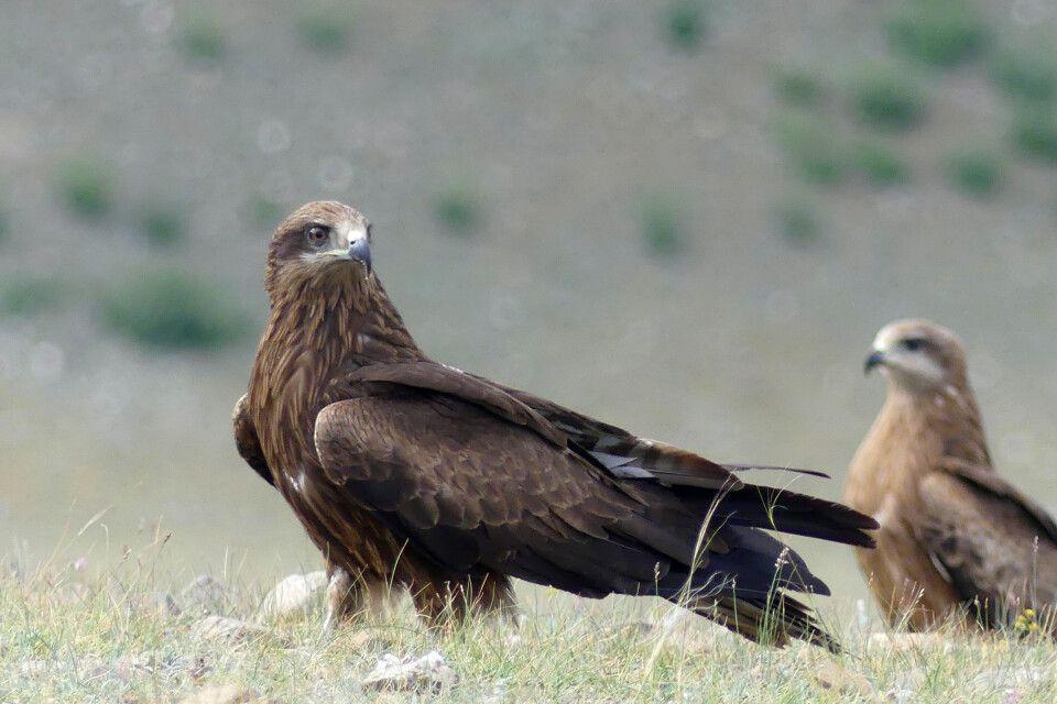 Falke in den Jargalant Bergen