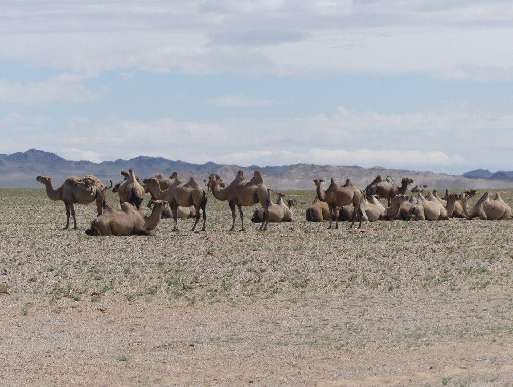 Kamelherde auf dem Weg zur Bor Khyariin Sanddüne