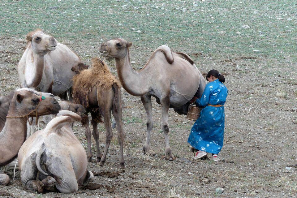 Frau im traditionalen Deel (Mantel) melkt die Kamelstuten