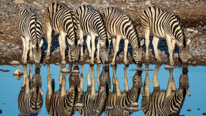 Zebras am Wasserloch © Diamir