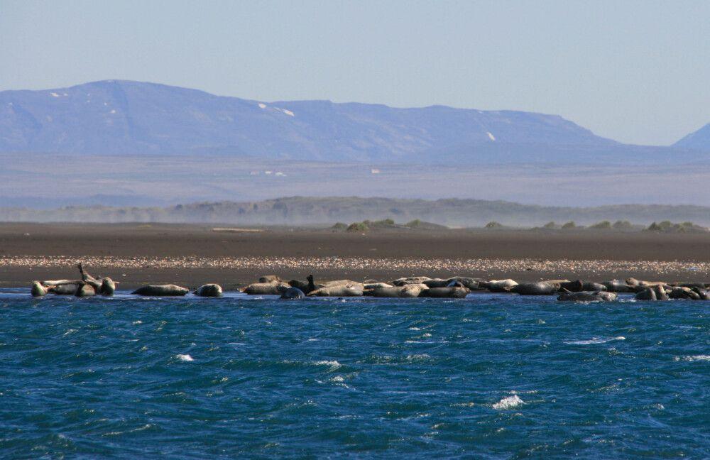 Robbenbeobachtung auf der Halbinsel Vatnsnes