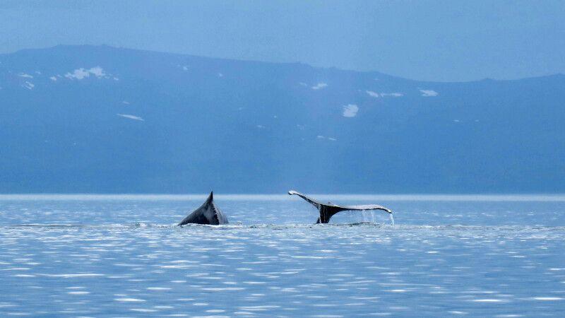 Eine Gruppe Buckelwale zieht durch die Futtergründe in Tschukotkas Fjord- und Inselwelt © Diamir