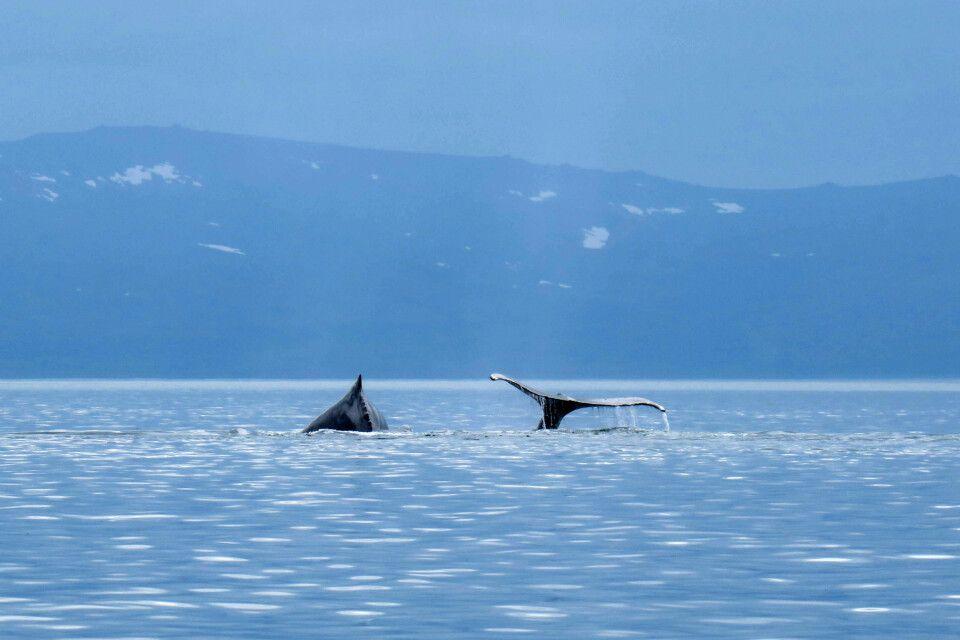 Eine Gruppe Buckelwale zieht durch die Futtergründe in Tschukotkas Fjord- und Inselwelt
