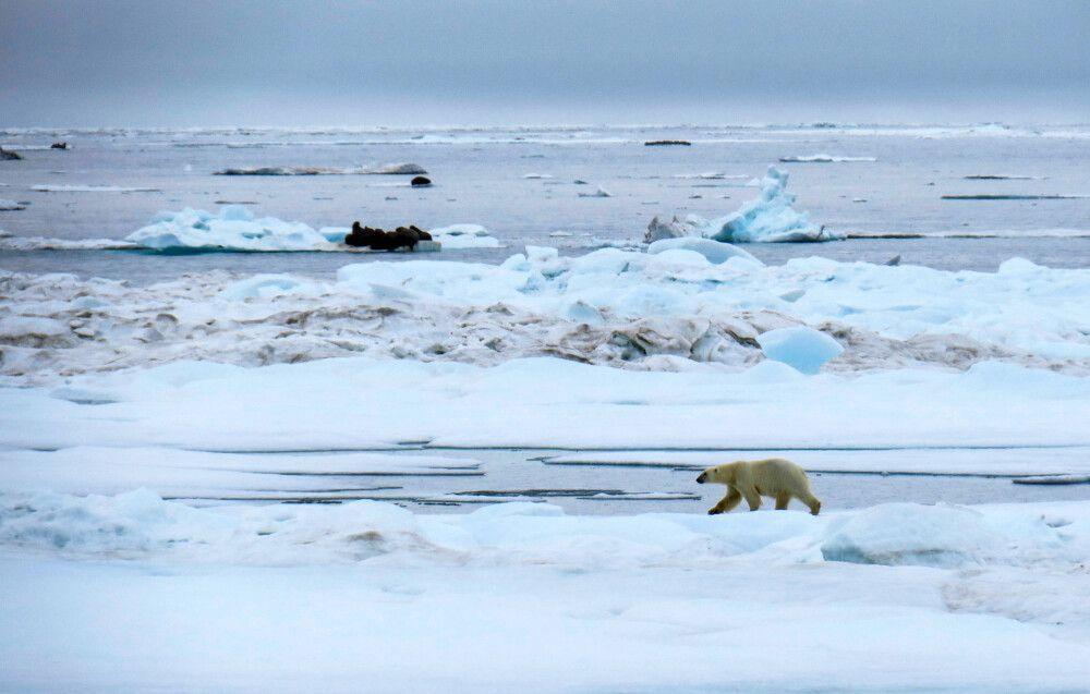 Für die Walrosse ist der Eisbär keine wirkliche Gefahr