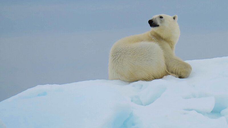 Eisbär im Packeis  © Diamir