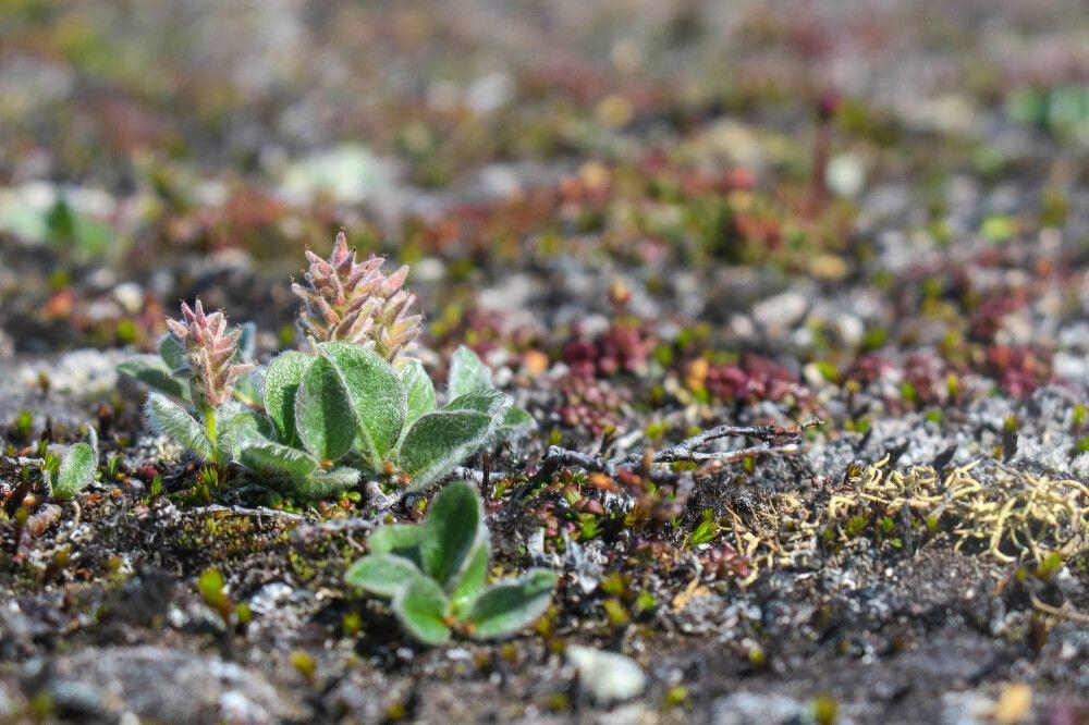Zarte Tundra-Vegetation